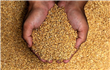 Egypt procures 1.6M tonnes of local wheat - cabinet