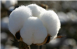 Arab Cotton Ginning sees profit drop in 9 months