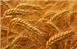Egypt aims to harvest 3.6mln tonnes of wheat this season - state TV